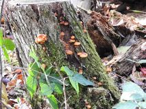Wild Mushrooms. Fall hike in the woods, Wild mushrooms growing on an old tree stumo Royalty Free Stock Images