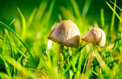 Wild mushrooms in grass Royalty Free Stock Image