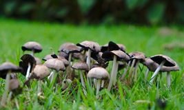 Wild mushrooms in green grass royalty free stock image