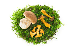 Wild mushrooms on green moss. Isolated against a white background Stock Images