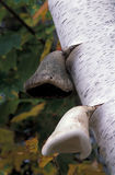 Wild mushrooms growing on birch tree Stock Images
