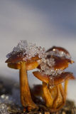 Mushrooms in winter Stock Photography