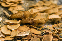 Wild Mushrooms. Growing in woodlands stock photos