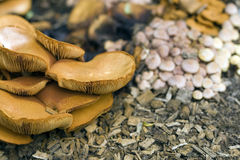 Wild Mushrooms. Growing in woodlands stock photo
