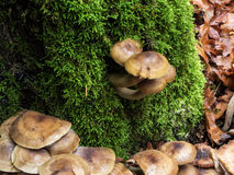Wild mushrooms Royalty Free Stock Photography