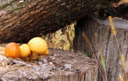 Wild Mushrooms on a log in the forest Stock Images