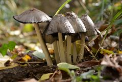 Wild mushrooms popping up for a short time stock images