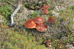 Wild mushrooms. Royalty Free Stock Photos