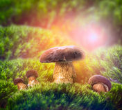 Wild mushrooms on sunny meadow of moss Stock Photography