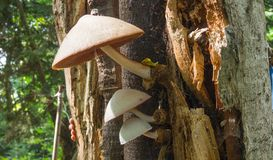 Wild mushrooms on an tree. Wild mushrooms growing on an old tree Stock Photo