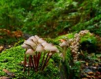 Wild mushrooms in woodland Royalty Free Stock Photo