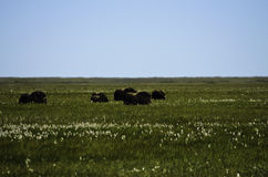 Wild Musk Ox Royalty Free Stock Photo