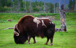 Wild Muskox Stock Photography