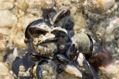 Wild mussels on rock surrounded by seawater. Close up. Atlantic ocean Galicia Spain stock photo