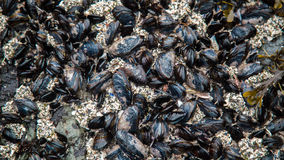 Wild Mussels. Vancouver Islands Wild Mussels living on the beaches of Black Rock in Ucluelet BC stock photo