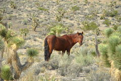 Wild mustang Stock Photography