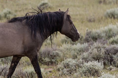 Wild Mustang. American Mustang in the high desert Stock Photos