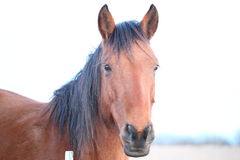 Wild Mustang, brown and black mane. This is just one of the thousands rescued mustangs that have been brought to the Flinthills to live out their lives Royalty Free Stock Images