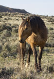 Wild mustang buckskin stallion Stock Image