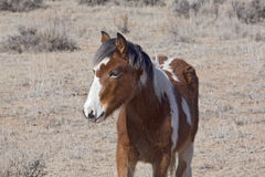 Wild Mustang Colt. The young colts are very shy and watchful Royalty Free Stock Photos