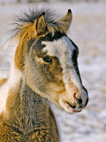 Wild Mustang Colt. The pony called Kid is watching from the herd Stock Photos