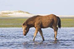 Wild Mustang Colt. A wild mustang colt waks along the tidal flats of an eastern North Carolina tidal flat stock photography