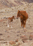 Wild Mustang Colt. Mother and young wild mustang colt Stock Photos