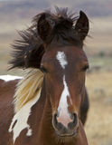 Wild Mustang Colt Uncombed Royalty Free Stock Photos