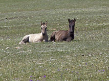 Wild mustang colts in wild flowers Royalty Free Stock Photos