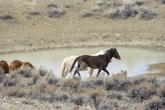 Wild Mustang (equus caballus) Stock Images