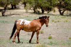Wild mustang horse Royalty Free Stock Images