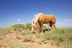 Wild mustang horse Royalty Free Stock Photography