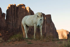 Wild mustang horse glazing in desert Royalty Free Stock Images