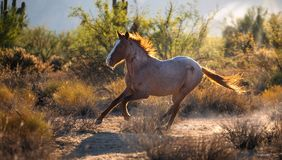 Wild Mustang Horse Running. Mustang wild horse running in the desert. Backlit picture in morning sunlight royalty free stock image