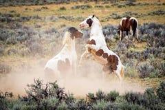 Wild Mustang Horses. Wild horses fighting in Wyoming Sagebrush kicking up dust royalty free stock photos