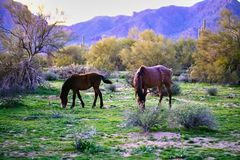 Wild Horses Located on the Pima-Maricopa Indian Reservation Land by the Lower Salt River in Arizona stock photos