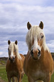 Wild mustang horses of the West Stock Photography