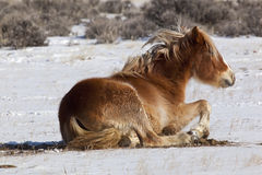Wild mustang horses of Wyoming Stock Image