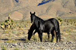 Wild Mustang Stock Images