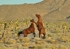 Wild Mustang Stock Image