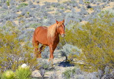 Wild Mustang Royalty Free Stock Photography