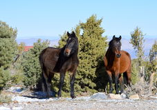 Wild Mustang Royalty Free Stock Photo