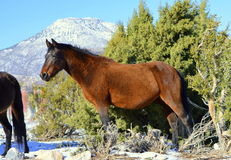 Wild Mustang Royalty Free Stock Photos