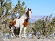 Wild Mustang Royalty Free Stock Image