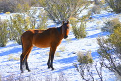 Wild Mustang Royalty Free Stock Images