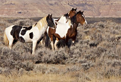 Wild mustang mares in McCullough Peaks Stock Images