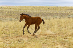 Wild Mustang Newborn Foal Stock Photography