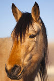 Wild Mustang Portrait Stock Photo