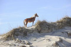 Wild Mustang on Sandunes Stock Image