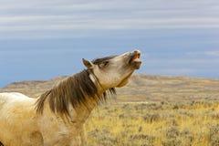 Wild Mustang Snaking Stock Image